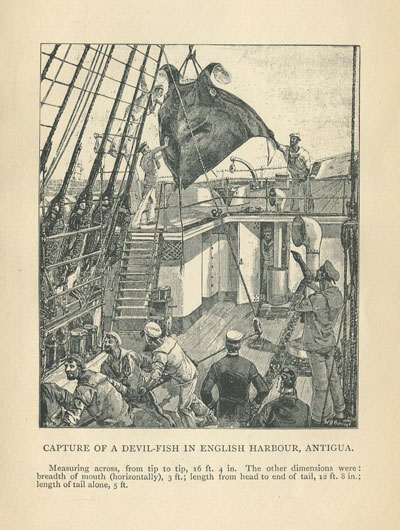 ANTIGUA Capture of a Devil-Fish in English Harbour.