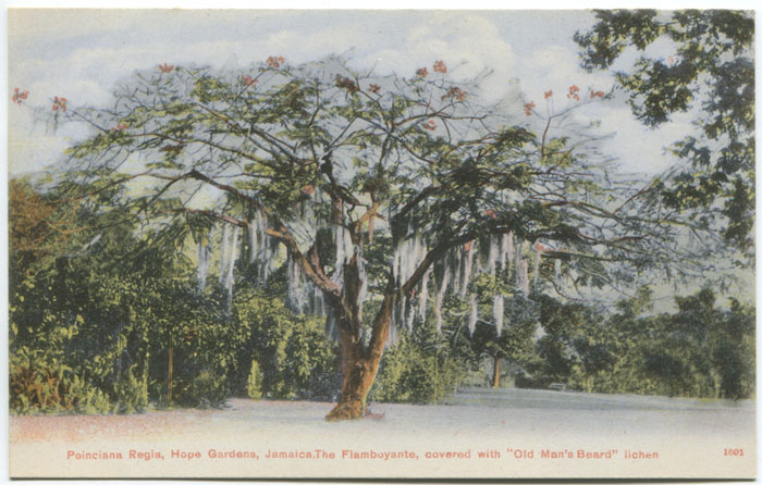 ASTON W. GARDNER & CO Poinciana Regia, Hope Gardens, Jamaica. The flamboyante, covered with Old Man